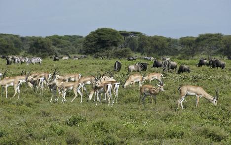 antilope herd